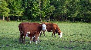 Lakeshore-Farm-Cows